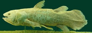 Coelacanth, courtesy of Afernand74 on en.wikipedia.org