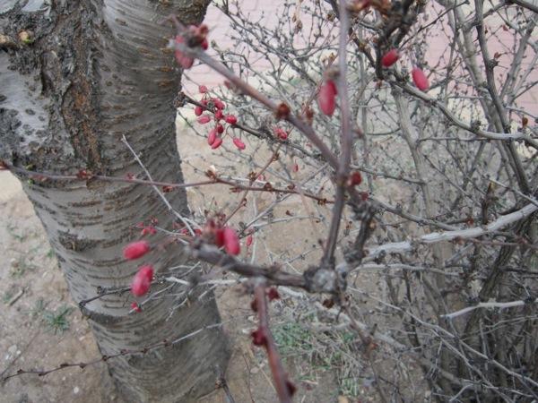 Pinkbud